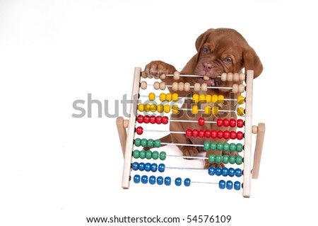 Puppy is learning to count with Abacus isolated on white background