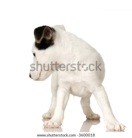puppy Jack russel looking back in front of a white background