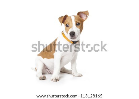 Puppy Jack Russell sitting on a white background