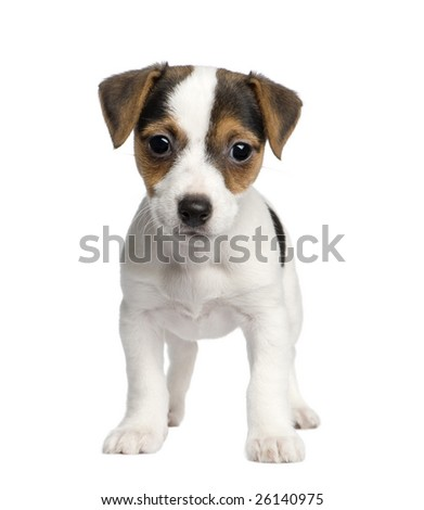 puppy Jack russell (8 weeks) in front of a white background
