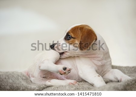 Puppy Jack russell  with scratching himself and bite fleas.
