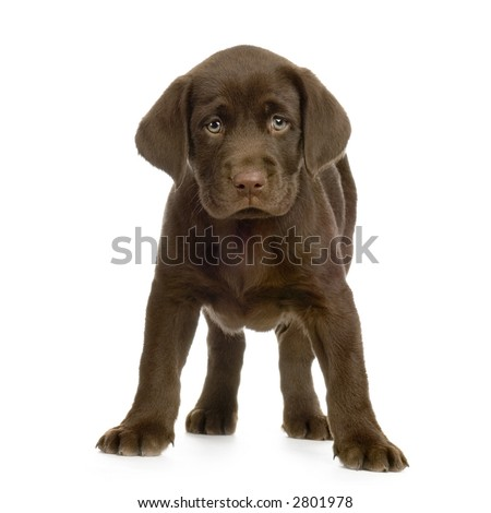 Puppy Labrador retriever chocolate in front of white background