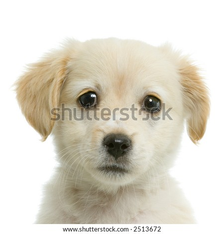 yellow lab puppy wallpaper. cute yellow labrador puppy.