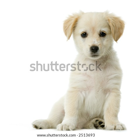 Puppy  Labrador retriever cream in front of white background and facing the camera - stock photo