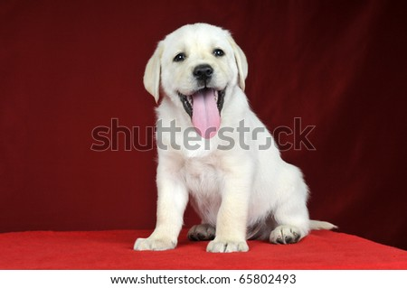 Puppy Labrador Retriever on a red background - stock photo