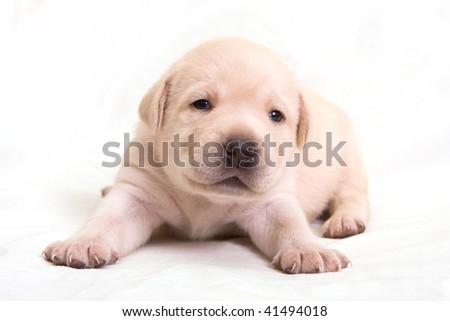 Puppy Labrador 3 weeks