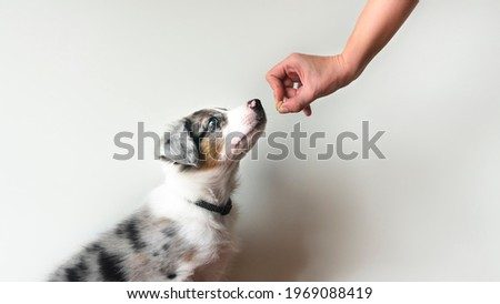 Puppy learning to obey. Dog training. Owner giving prize to dog. Isolated background. Border collie blue merle ストックフォト ©