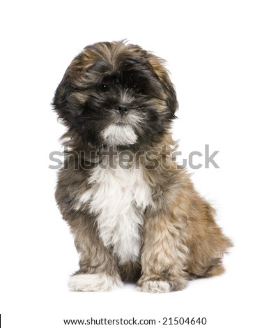 Lhasa Apso Puppies on Puppy Lhasa Apso  3 Months  In Front Of White A Background Stock Photo