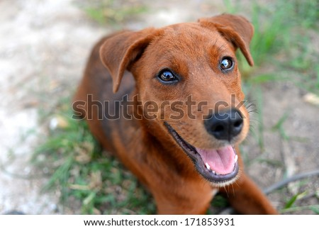 puppy look at camera,  close up dog eye, feel he very happy and smile with, dog live at thailand\'s temple