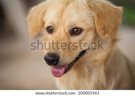 puppy look at camera, close up dog eye, feel he very happy and smile with, dog live at thailand's temple #200005961