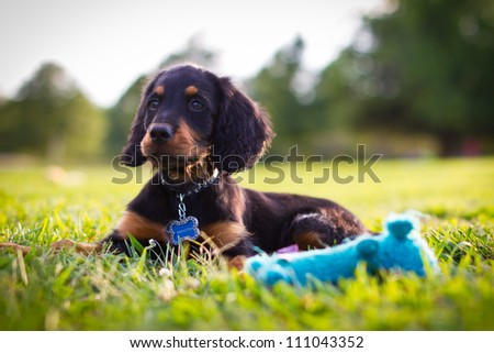 Puppy looking into a field with a blue squeak toy in foreground