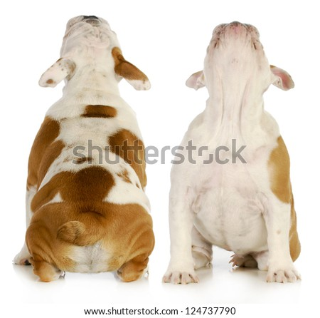 puppy looking up from the front and back view - english bulldog