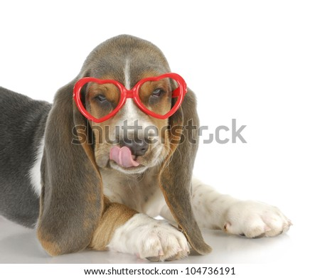 puppy love - basset hound puppy wearing heart shaped glasses - 8 weeks old