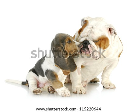puppy love - cute basset hound and english bulldog together on white background