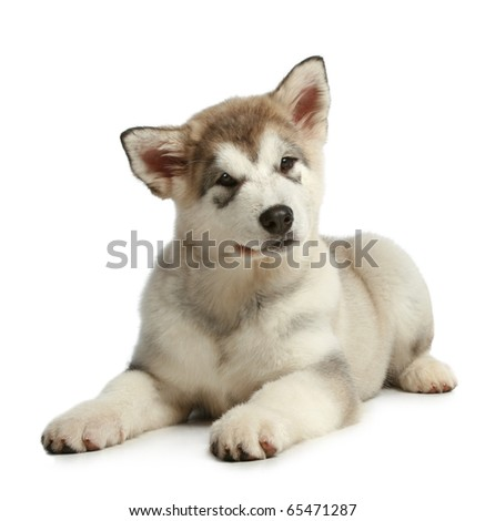 Puppy malamute (3 months) lies on a white background