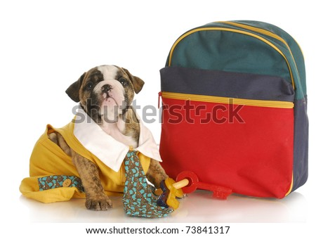 puppy obedience school = english bulldog puppy dressed up ready for school on white background
