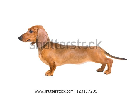 puppy of a red dachshund with fine exterior on isolated white background