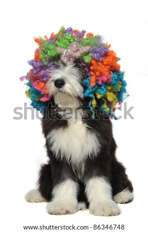 Puppy of bearded collie wearing a clown's wig
