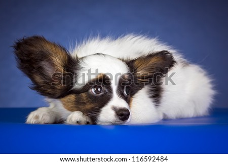 Puppy of breed papillon on a  blue background
