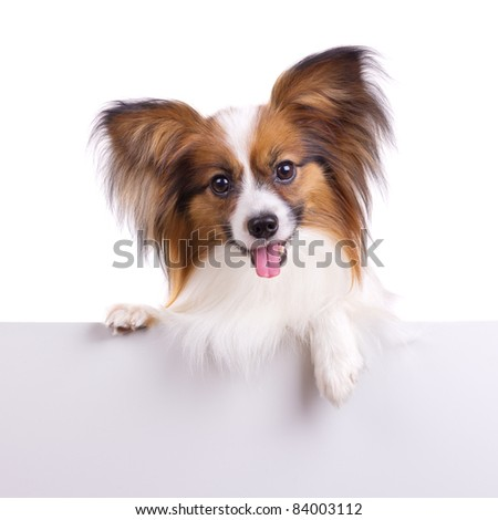 Puppy of breed papillon on a white background