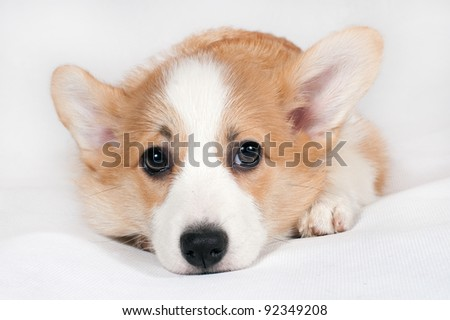 Puppy of Cardigan Welsh Corgi lying on a white background - stock photo