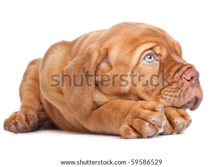 Puppy of Dogue de Bordeaux (French mastiff). Isolated on white background