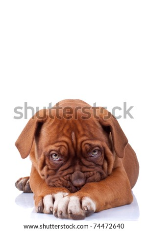 Puppy of Dogue de Bordeaux (French mastiff) looking very shy, on white background