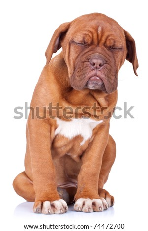 Puppy of Dogue de Bordeaux (French mastiff) taking a nap while sitting