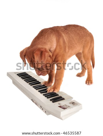 Puppy of Dogue De Bordeaux is playing an electrical piano