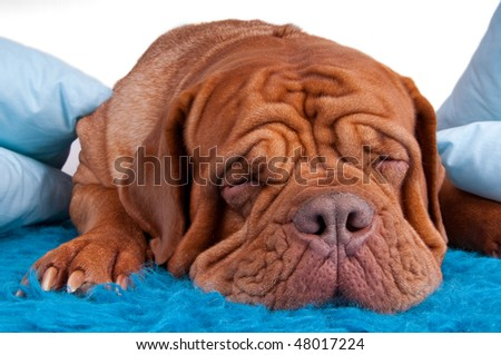 puppy of dogue de bordeaux sleeping on blue carpet