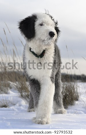 Puppy of Old English Sheepdog in snowy field - stock photo