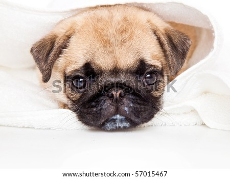 Puppy of pug towel. Isolated on white