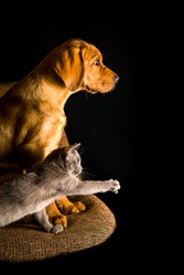 Puppy of red fox labrador and burma kitten are playing on the brown chair on black background.