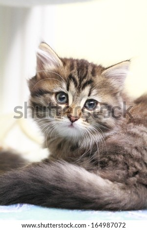 puppy of siberian cat, brown tabby mackerel #164987072
