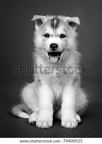 puppy of siberian husky