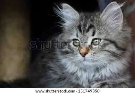 Puppy of siberian kitten