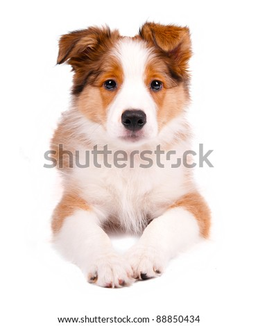 puppy of the border collie dog on the white #88850434