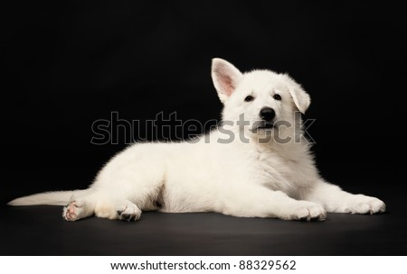 Puppy of the white sheep-dog on a black background