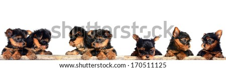 Puppy of the Yorkshire Terrier #170511125