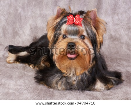 Puppy of the Yorkshire Terrier isolated on the textile background