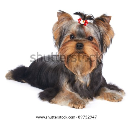 Puppy of the Yorkshire Terrier isolated on the white background