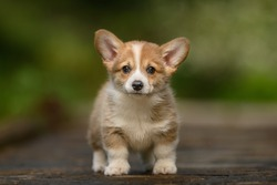 Puppy of Welsh Corgi Pembroke playing in garden Puppy of Welsh Corgi Pembroke playing in garden