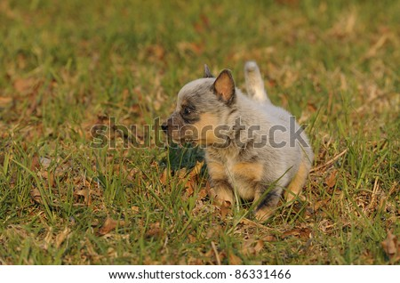 puppy. pedigree Australian cattle dog puppy age five weeks. the breed is a cross between dingos and smithfield herders (blue merle collies) - stock photo