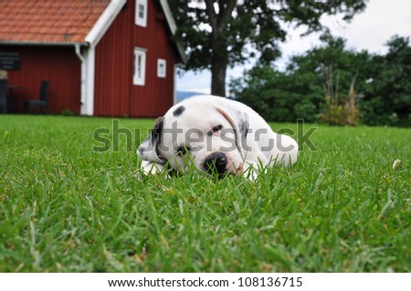 Puppy, Pitbull - St Bernard, resting in the grass with a red cottage in the background.