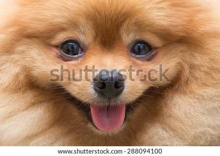 stock photo puppy pomeranian dog cute pets in home close up image 288094100 - Каталог — Фотообои «Животные»