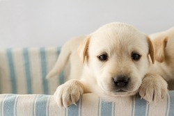 Puppy - portrait of cute labrador puppy