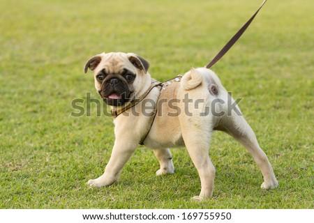 Puppy Pug is kept on leash