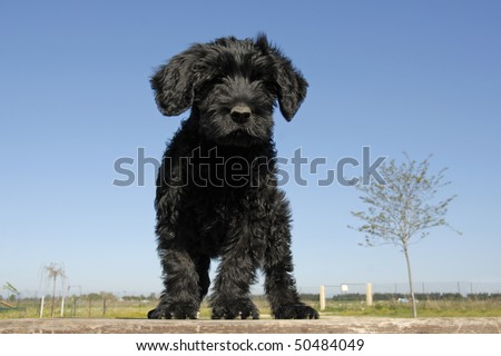 Portuguese Water Dog Puppy. or portuguese water dog