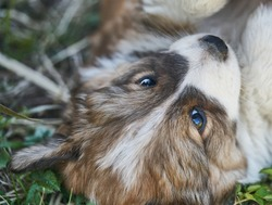 Puppy resting in the grass. Close up photo.
