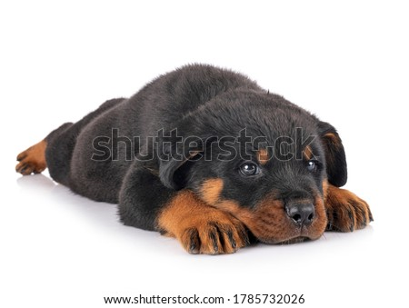puppy rottweiler in front of white background Zdjęcia stock ©